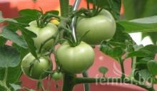 С малко тънкости, ще имате много домати